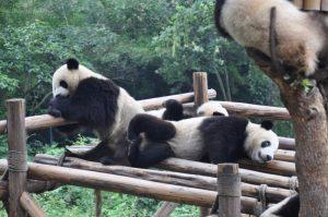 China Chengdu Reuzen Panda Mango Travel