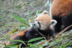 China Chengdu Rode Panda Mango Travel (6)